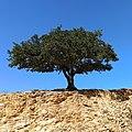 Encino quiebra hacha (Quercus rugosa) en México.jpg
