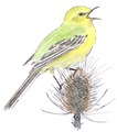 Engelse gele kwikstaart Motacilla flava flavissima Jos Zwarts 2.tif
