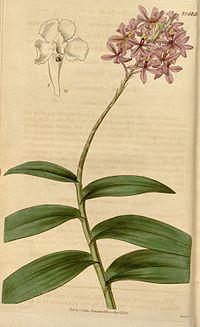 Epidendrum ellipticum (as Epidendrum crassifolium) - Curtis' 64 (N.S. 11) pl. 3543 (1837).jpg