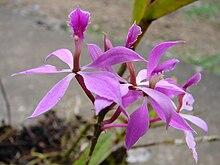 HOA GIEO TỨ TUYỆT 2 - Page 3 220px-Epidendrum_imatophyllum