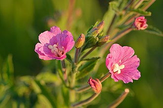 Epilobium hirsutum - Close-up of the flowers