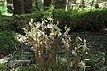 Epipogium aphyllum-002.jpg