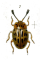 Epopterus lineoguttatus.png
