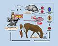 Equine Protozoal Myeloencephalitis life cycle.jpg