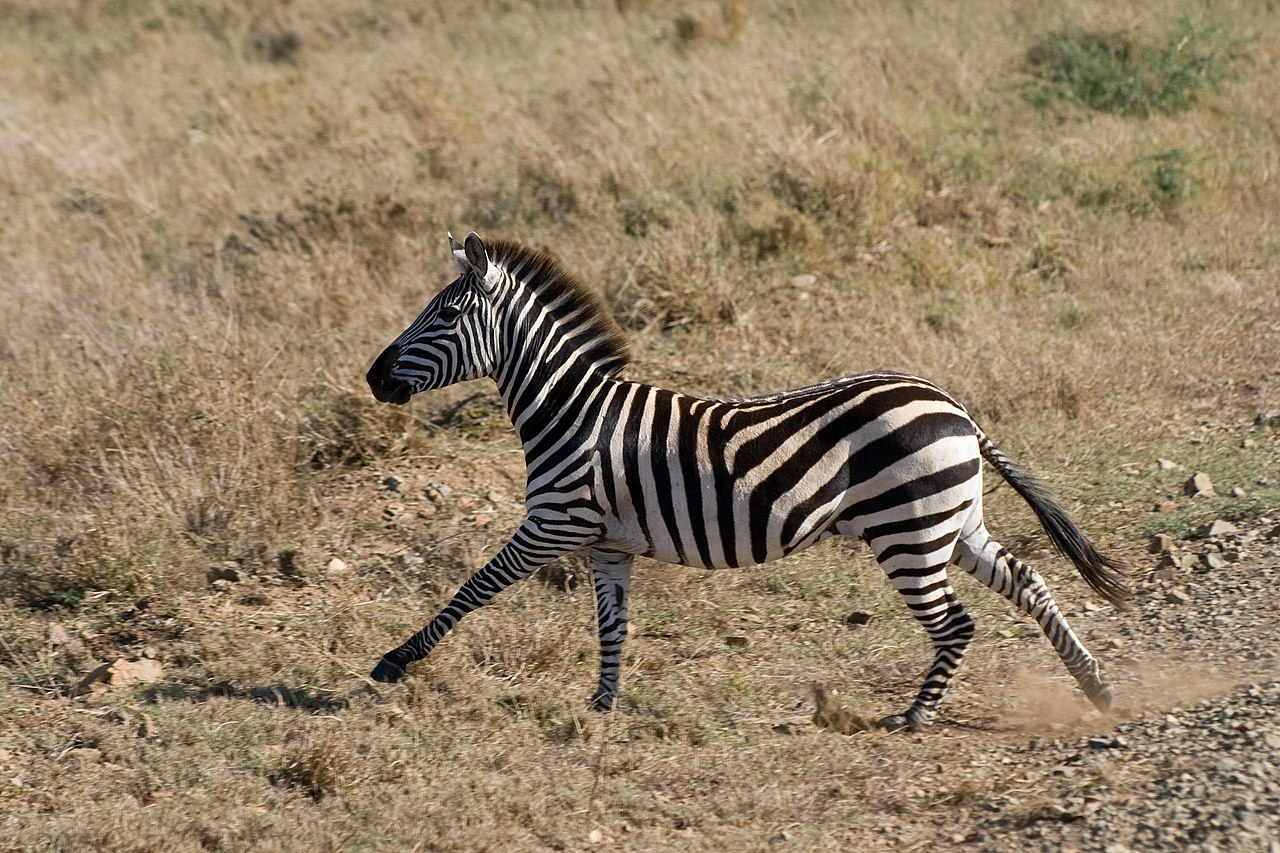 Serengeti National Park >> File:Equus quagga -Serengeti National Park, Tanzania-8.jpg ...