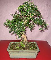 Erethia theezans (bonsaï).jpg