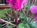 Ericales - Cyclamen persicum cultivars - 12.jpg