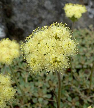 Eriogonum - Talus buckwheat Eriogonum ursinum