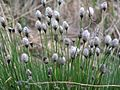 Eriophorum vaginatum Tupp-villpea estonia.JPG