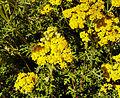 Eriophyllum stoechadifolium.jpg