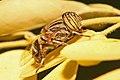 Eristalinus fuscicornis.jpg