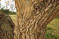 Erythrina abyssinica (bark).JPG
