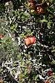 Erythrophysa alata (Sapindaceae) (36728294333).jpg