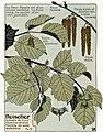 Etude de la plante - p.56 fig.65 - Noisetier.jpg