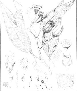 <i>Corymbia ptychocarpa</i> species of plant