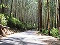 Eucalyptus Grandis Plantation, Gudalur - panoramio (4).jpg