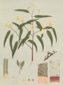 Eucalyptus camaldulensis.png