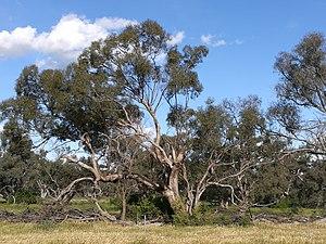Eucalyptus largiflorens.jpg