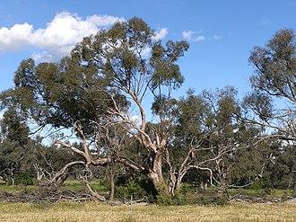 Eucalyptus largiflorens - Image: Eucalyptus largiflorens