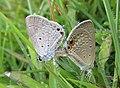 Euchrysops cnejus Fabricius, 1798 – Gram Blue mating at Madayippara (17).jpg