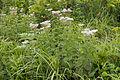 Eupatorium chinense var. sachalinense 04.jpg