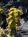 Euphorbia barnardii 02.JPG