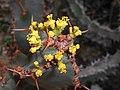 Euphorbia caerulescens 2017-05-31 2165.jpg