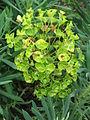 Euphorbia characias wulfenii.02.jpg