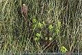 Euphorbia paralias (E. des sables)-0029.jpg