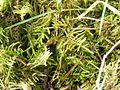 Eurhynchium praelongum 2006.05.14 11.20.21-p5140058.jpg
