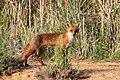 European red fox (Vulpes vulpes).jpg