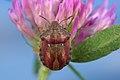 Eurygaster testudinaria Namur,Belgium.jpg