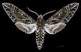 Euryglottis guttiventris MHNT CUT 2010 0 113 Osayacu (Napo, Ecuador) male dorsal.jpg