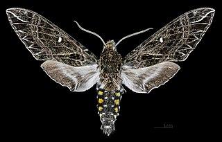 Sưu tập Bộ cánh vẩy 2 - Page 12 320px-Euryglottis_guttiventris_MHNT_CUT_2010_0_113_Osayacu_%28Napo%2C_Ecuador%29_male_dorsal