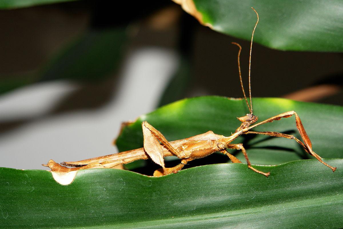 Australische Gespenstschrecke – Wikipedia