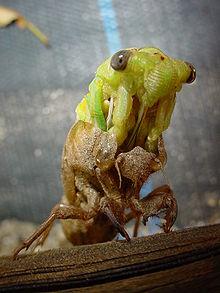 Sviluppo postembrionale negli insetti