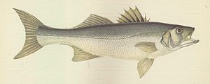 European bass - An 1877 illustration of the European bass by British naturalist Jonathan Couch.