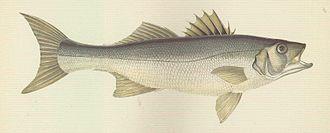 European bass - An 1877 illustration of the European bass by British naturalist Jonathan Couch.