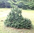 Fagus sylvatica Kuhbusch2.jpg
