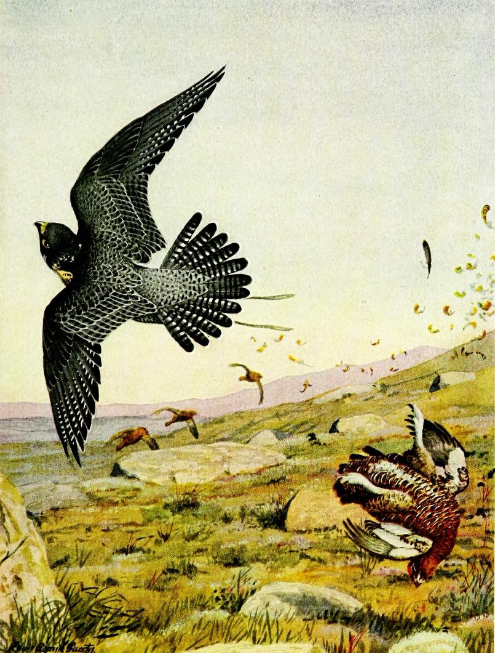 Falconry sport of kings (1920) Peregrine falcon striking red grouse