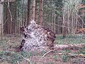 Fallen Tree in the Harewarren - geograph.org.uk - 326273.jpg