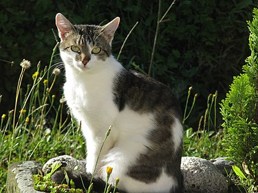https://upload.wikimedia.org/wikipedia/commons/thumb/1/13/Felis_silvestris.JPG/375px-Felis_silvestris.JPG