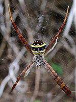 Female Argiope aetheroides (dorsal)