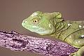 Female green basilisk head.JPG