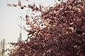 Fernsehturm (Berlin) mit Kirschbäumen.jpg