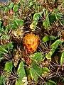 Ferocactus robustus 002.JPG