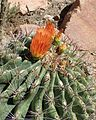 Ferocactus wislizeni kz1.jpg