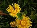 Feuchte Hasenkopf-Löwenzahnblüten mit Wildbiene, kalter Mittag in Marburg Anfang Mai, 2019-05-09.jpg