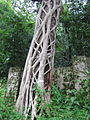 Ficus Barbata - ചേല 03.JPG