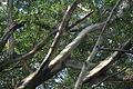 Ficus benjamna.JPG